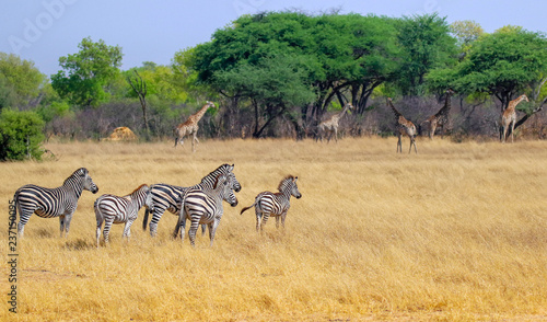 small herd of zebras in hwange nature reserve zimbabwe