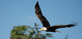Bald eagle flying under blue sky, flying in nature (Ciconia ciconia) - 237156868