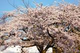 桜満開 - 237159499