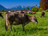 Cows on the pasture, Bavaria, Germany