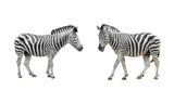 zebra isolated on white - 237192619