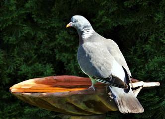 Taube,Vogeltränke,Garten