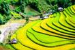Leinwanddruck Bild - Terraced rice paddy in Mu Cang Chai, Yen Bai province, Vietnam.