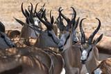 A group of male Impala Antelopes Aepyceros melampus in Nxai Pan National Park, Botswana