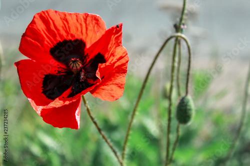 Poppy under the sun - 237234285