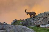 Ibex , Range of Mont Blanc , French Alps