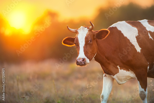 Leinwandbild Motiv Cow portrait at sunset background