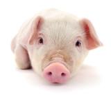Pig on white - 237269813