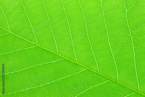 close up on green leaves texture with leaf vein - 237284834