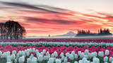 Fototapeta Kwiaty - a tulip field under a pink sunrise with a mountain in the background © Ben