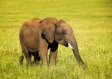 African elephant baby walking on the savannah