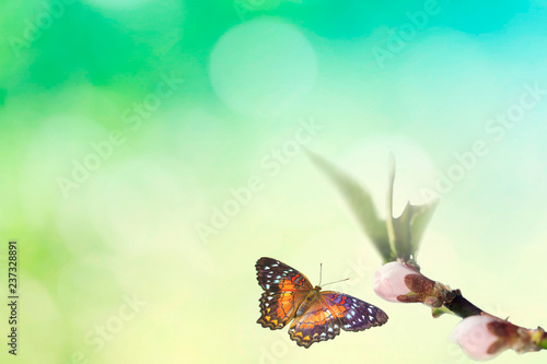 Beautiful colored butterfly in flight and branch of flowering tree in spring at Sunrise on light blue and green background macro. Amazing elegant artistic image nature in spring - 237328891