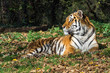 Tiger - Panthera tigris