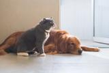 Golden Hound Intimate with British short-haired cat - 237340043
