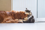 The Golden Hound plays with the kitten. - 237340281