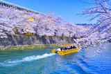 春の京都、満開の桜咲く琵琶湖疎水と遊覧船  - 237350687
