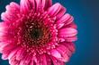 Quadro pink; gerbera; isolated; daisy; flower; water; gerber; purple; background; frame; border; stem; spring; bright; flora; floral; nature; natural; summer; season; bloom; blossom; fresh; plant; fragility;