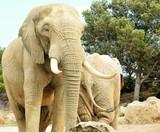 éléphant - 237360092