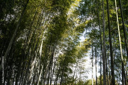 Bamboo grove in Kyoto