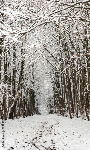 forest  alley in winter