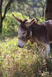 el burro amarrado
