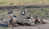 Marabou storks eat the carcass of a dead elephant, Moremi Game Reserve, Botswana