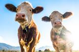 funny cows - 237415641