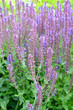 .Violet sage (Salvia nemorosa L.), Ostfriesland grade. The blossoming plants