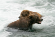 Two Brown Bears Playing the water