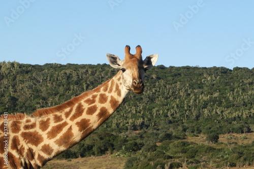 Plakat Giraffe mit Kind/Baby in Afrika