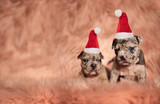 two little american bully pupies sitting  and wearing santa hats - 237441092