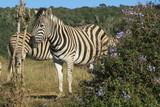Zebra in Afrika