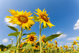 shining sunflowers at field in blue sky