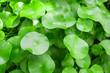 Leinwanddruck Bild - Herbal medicine leaves nature background of Centella asiatica known as gotu kola