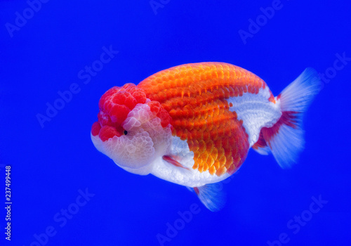 Leinwandbild Motiv Ranchu Lion Head goldfish in fish tank.