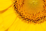 Yellow sunflower on nature as a background