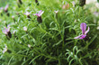 Spanish lavender flowers