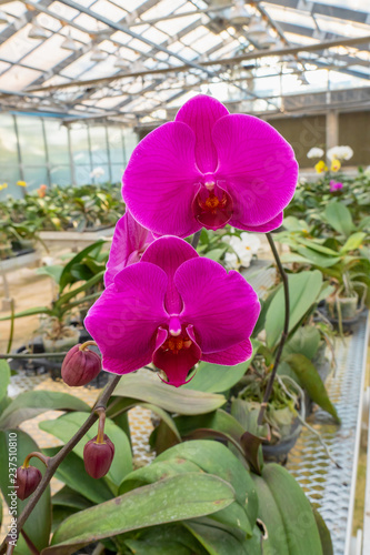 Beautiful purple orchid flower in greenhouse - 237510810