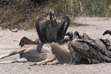 White-backed vultures eat the carcass of a dead Greater Kudu, Chobe National Park, Botswana