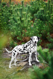 Dalmatian dog hiding behind fir-tree
