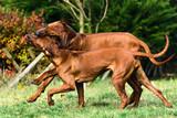 Two funny friendly Rhodesian Ridgebacks dogs playing, running, chasing - 237515289