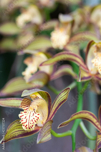 Beautiful Yellow Red Ribbon orchid on nature