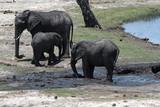 Elephant group on the Chobe River Front in Chobe National Park, Botswana