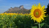 Sunflower field with mountain background