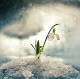 Flowers spring first white snowdrops in the fallen snow. Art photo with soft selective focus.