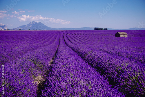 Lavender field - Valensole, France - So violet! Enjoy active summer on the lavender field. One touristic place is in Valensole, France. So impressive! nThe violet everywhere! - 237561814