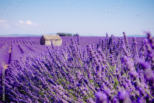 Lavender field - Valensole, France - So violet! Enjoy active summer on the lavender field. One touristic place is in Valensole, France. So impressive! nThe violet everywhere! - 237561857