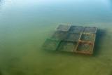 Boîtes colorées avec des huîtres dans de l'eau, culture d'huîtres, collecte d'huîtres