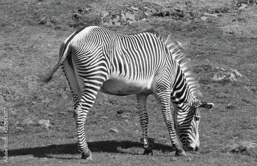 Zebra grazing on lush grass in black and white