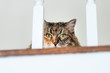 Calico maine coon cat face, lying on carpet floor, hiding behind railing bars with head hidden, big eyes opened